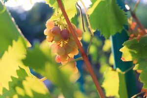 Wine Additives AVEL grapes 1 οινολογικά πρόσθετα